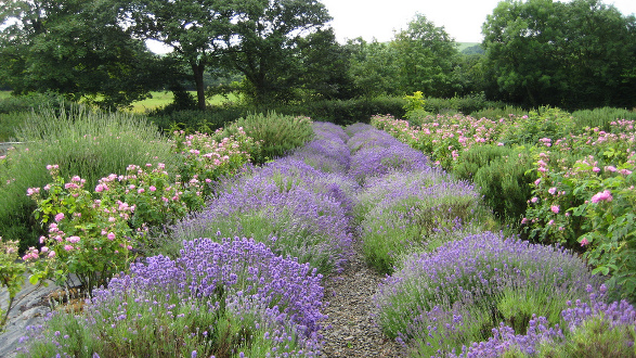 Organic Gardens with Rosemary, Lavender and Damask Rose growing in close proximity